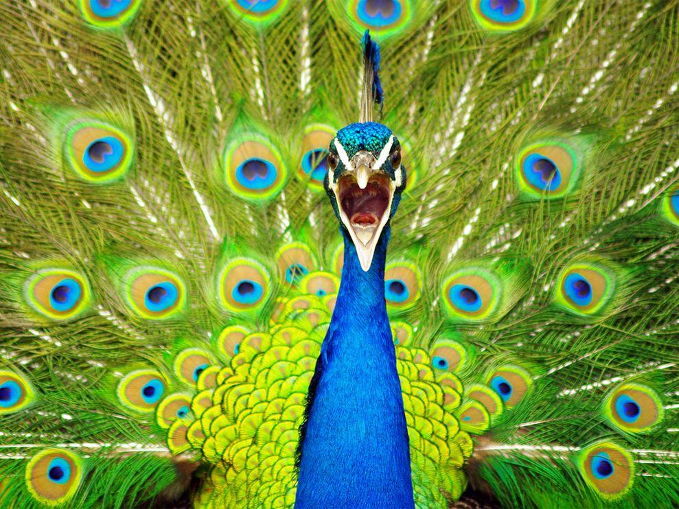 peacock-new-zealand_10933_990x742